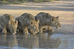Three lions drinking from a pool of water, eyes lit up by sunlight and looking alert. Three lion drinking from a pool of water, eyes lit up by sunlight. Picture Royalty Free Stock Photos