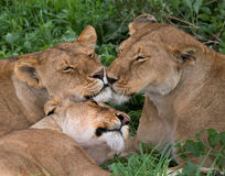 Three lionesses lie together. Kenya. Tanzania. Africa. Serengeti. Maasai Mara. Stock Photo