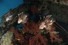 Three lionfish Stock Images