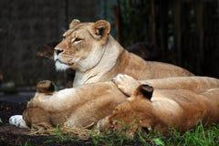 Three lions Royalty Free Stock Photo