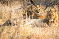 Three lions brothers at kruger Stock Image