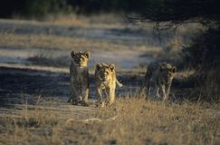 Three Lions hunting on savannah Stock Photos