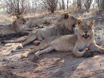 Three lions lying down royalty free stock photography
