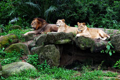 Three lions lying on the rock Stock Images