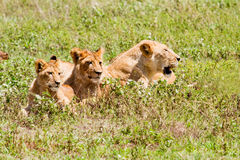 Three lions. Mom and two young lions in Africa Royalty Free Stock Photo