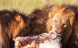 Three Lions (panthera leo) in savannah Royalty Free Stock Images