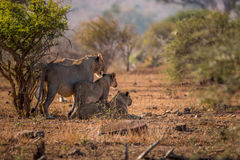 Three Lions starring in the Kruger National Park. Stock Photography