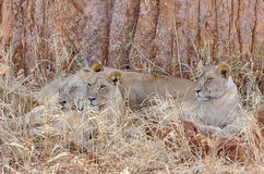 Three Lions, Tarangire National Park, Manyara, Tanzania, Africa Royalty Free Stock Photography