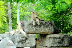 Three lions Royalty Free Stock Photo