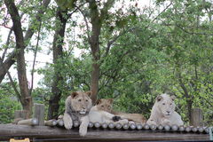 Three lions at the zoo Stock Images