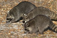 Three Little Bandits stock images