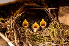 Three little beaks screaming in the nest. At summer daylight Royalty Free Stock Photos