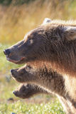 Three little bears in vertical picture. Mother and two cub in vertical shot Stock Image