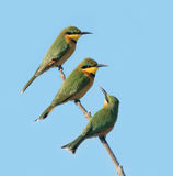 Three Little Bee eaters, Botswana Royalty Free Stock Photos