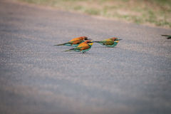 Three Little bee-eaters sitting on the road. Stock Images