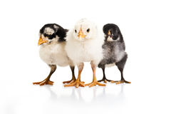 Three little birds Royalty Free Stock Image