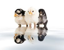 Three little birds Royalty Free Stock Images