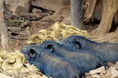 Three little black pigs. Taking naps Stock Image