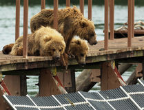 Three little brown bear cub on fence to account for fish. Kurile Lake. Royalty Free Stock Images