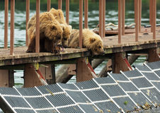 Three little brown bear cub on fence to account for fish. Kurile Lake. Royalty Free Stock Photo