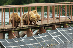 Three little brown bear cub on fence to account for fish. Kurile Lake. Stock Photo