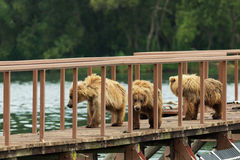 Three little brown bear cub on fence to account for fish. Kurile Lake. Stock Images