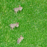 Three Little Bunny Rabbits on the Grass Stock Image