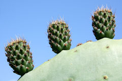 Three little cactuses Stock Image