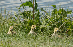 Three little Canada goose goslings Stock Photography