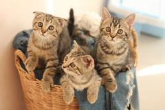 Three little cats Royalty Free Stock Photo