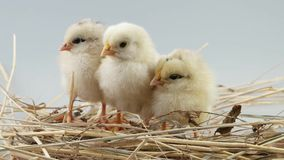 Three little chick falling asleep on the hay stock video footage
