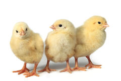 Three Little Chicken Royalty Free Stock Photos