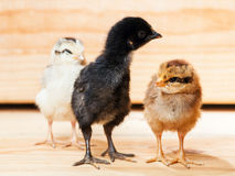 Three little chicken. Royalty Free Stock Photography