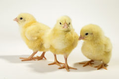 Three little chickens Stock Photos