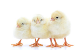 Three little chicks Royalty Free Stock Image