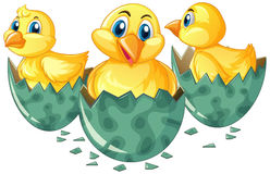 Three little chicks hatching eggs Royalty Free Stock Images