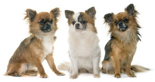 Three little chihuahua stock photography