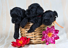 Three little cobs in the basket stock image