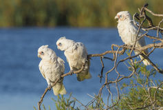 Three Little Corellas Royalty Free Stock Photo