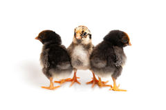 Three little cute chicks in front of white background. Three cute chickens isolated on a white background Royalty Free Stock Photography