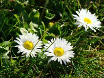 Three little daisies. Three mini wild daisies surrounded by grass Stock Photos