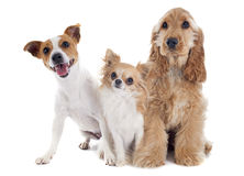 Three little dogs royalty free stock photo