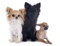 Three little dogs stock photography