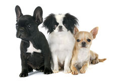 Three little dogs stock images