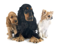 Three little dogs royalty free stock photography