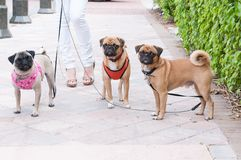 Three little dogs in a row Stock Photo