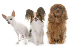 Three little dogs in studio royalty free stock photos