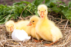Three little domestic gosling with broken eggshell in straw nest.  Stock Images