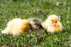 Three little domestic gosling in green grass Royalty Free Stock Photo