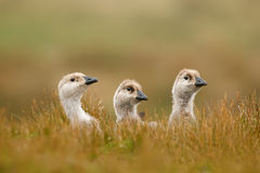 Three little duck. White bird with long neck. White goose in the grass. White bird in the green grass. Goose in the grass. Wild wh Stock Photo